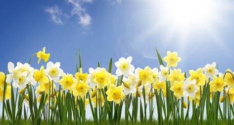 daffodilss