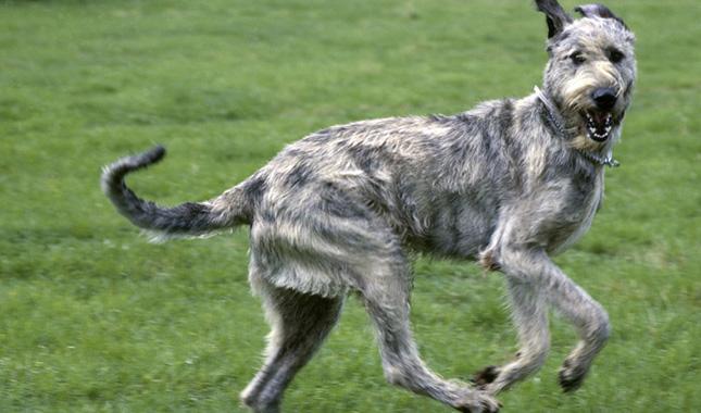 irish-wolfhound-ap-0qrfi8-645-x-380